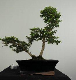 Bonsai Ilexcrenata, no. 6716