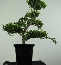 Bonsai Ilexcrenata, no. 6717