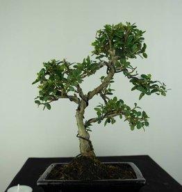 Bonsai Ilex crenata, no. 6756