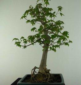 Bonsai Acer buergerianum,Arce tridente, no. 6909