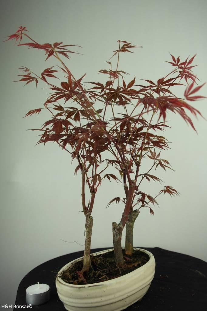 Bonsai Acer Palmatum, Arce palmatum, no. 7015