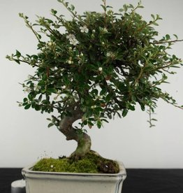 Bonsai Cotoneaster, no. 6618