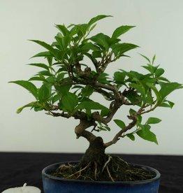 Bonsai Shohin Styrax japonicus, no. 6961