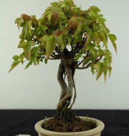 Bonsai Shohin Arce tridente, Acer buergerianum, no. 6963