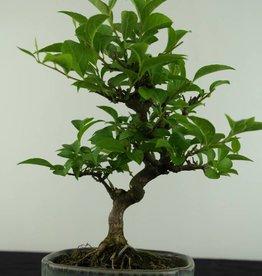 Bonsai Shohin Styrax japonicus, no. 6964