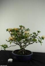 Bonsai Ixora, no. 6969