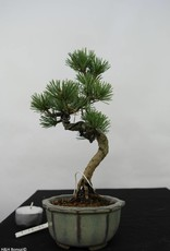 Bonsai Shohin Pinus pentaphylla, no. 7054