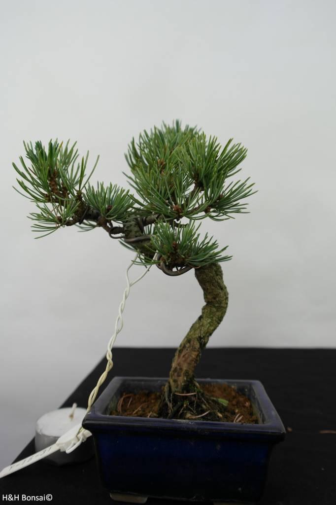 Bonsai Shohin Pinus pentaphylla, no. 7058