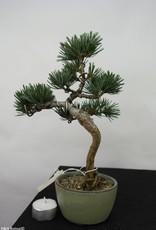 Bonsai Pinus pentaphylla, no. 7061