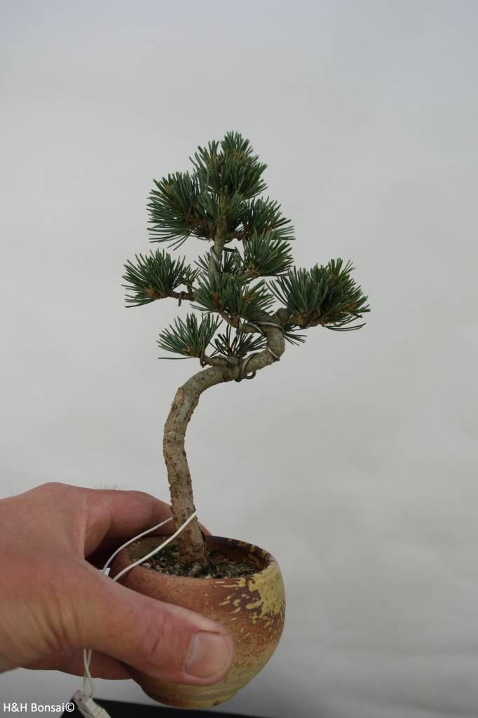 Bonsai Pinus pentaphylla, no. 7063