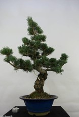 Bonsai Pinus pentaphylla, no. 7068
