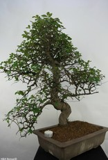 Bonsai Ulmus, no. 7071