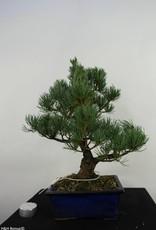 Bonsai Pinus pentaphylla, no. 7074