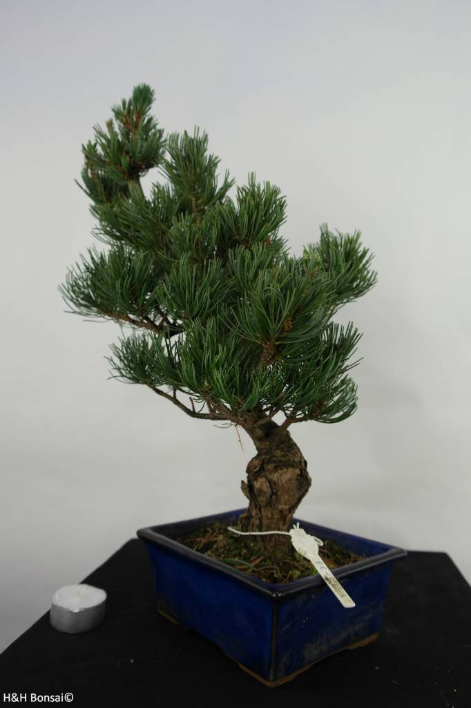 Bonsai Pinus pentaphylla, no. 7075