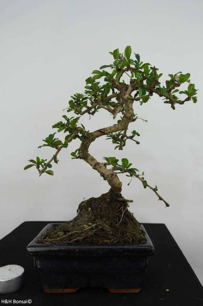 Bonsai Carmona macrophylla, no. 7088