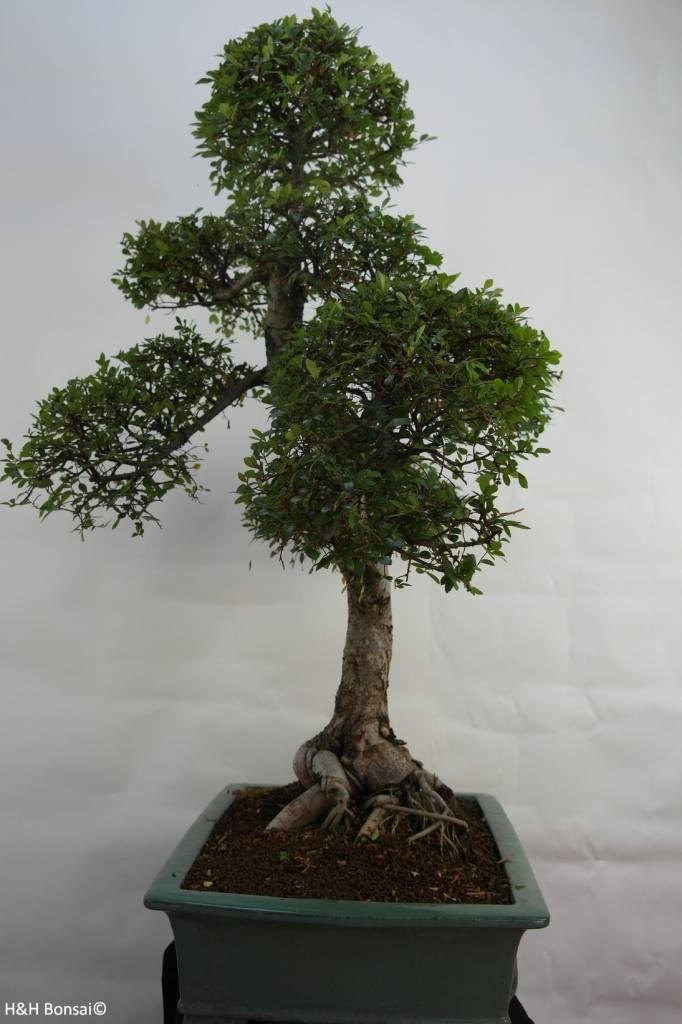 Bonsai Ulmus,Olmo chino, no. 7094