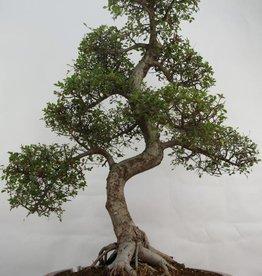 Bonsai Ulmus,Olmo chino, no. 7095