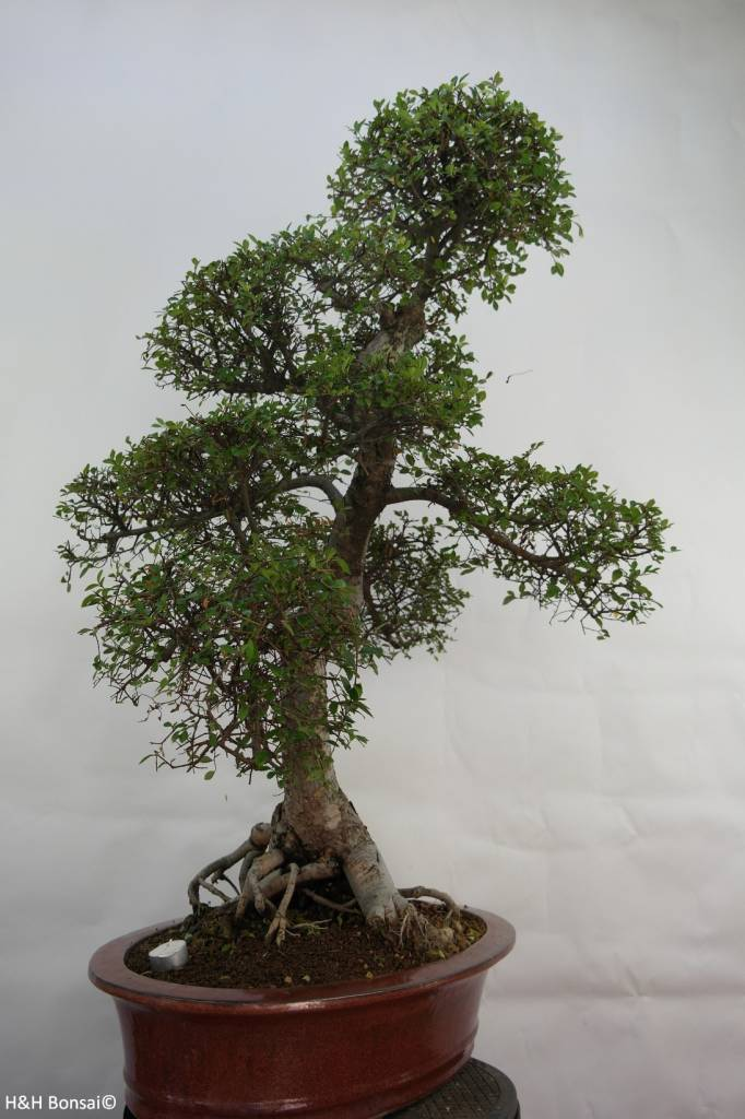 Bonsai Ulmus, Olmo chino, no. 7095