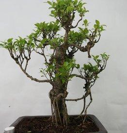 Bonsai Ficus retusa, no. 7102