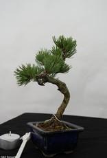 Bonsai Shohin Pinus pentaphylla, no. 7104