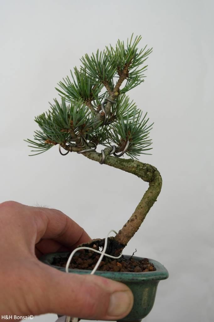 Bonsai Shohin Pinus pentaphylla, no. 7105