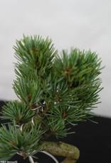 Bonsai Shohin Pinus pentaphylla, no. 7106