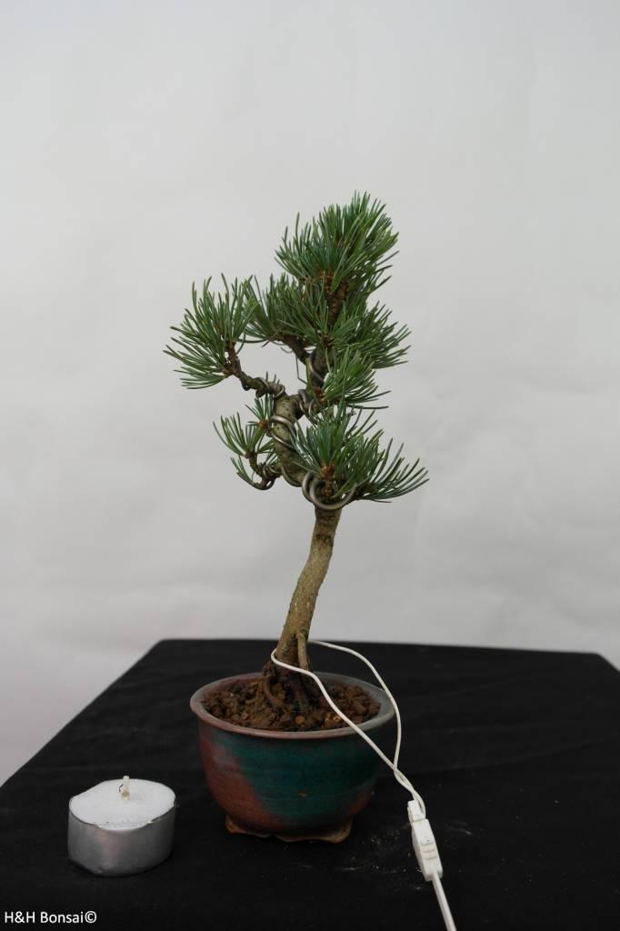 Bonsai Shohin Pinus pentaphylla, no. 7108
