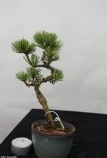 Bonsai Shohin Pinus pentaphylla, no. 7109