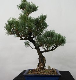 Bonsai Japanese White Pine, Pinus pentaphylla, no. 7110