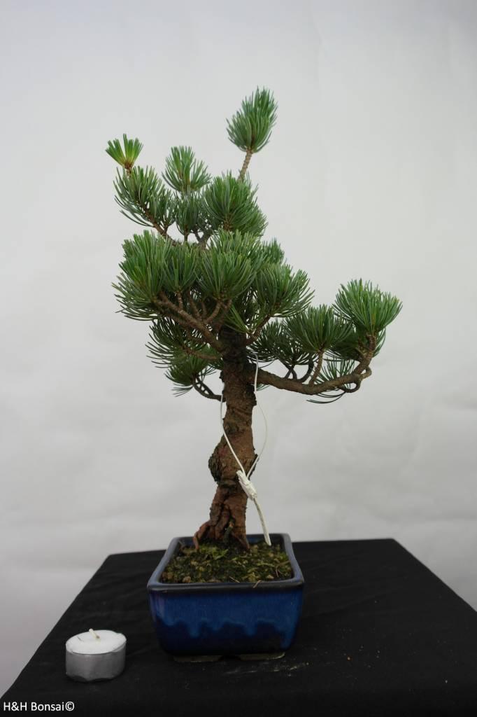 Bonsai Pinus pentaphylla, no. 7111