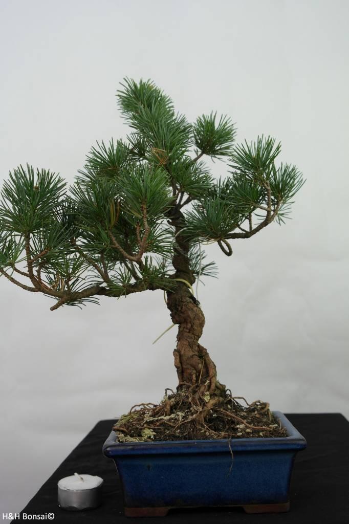 Bonsai Pinus pentaphylla, no. 7113