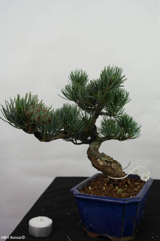 Bonsai Pinus pentaphylla, no. 7116