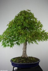 Bonsai Acer palmatum, no. 6784