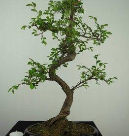 Bonsai Ulmus,Olmo chino, no. 7126