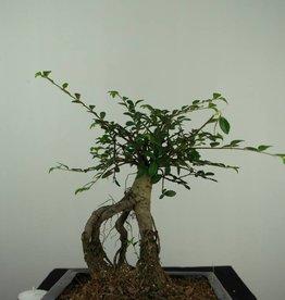 Bonsai Ulmus,Olmo chino, no. 7146