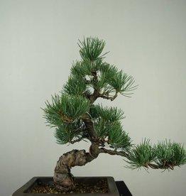 Bonsai Pinus pentaphylla, no. 7152