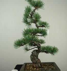 Bonsai Pinus pentaphylla, no. 7154