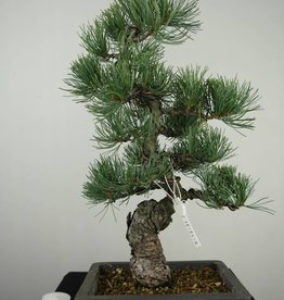 Bonsai Japanese White Pine, Pinus pentaphylla, no. 7155
