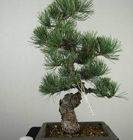 Bonsai Pinus pentaphylla, no. 7155