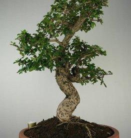 Bonsai Carmona macrophylla, no. 7158