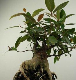 Bonsai Ficus sp., no. 7186