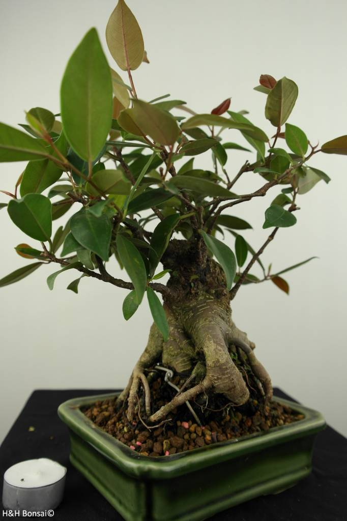 Bonsai Ficus sp., no. 7186