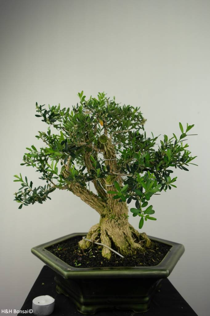 Bonsai Buxus harlandii, no. 7187
