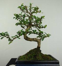 Bonsai Fukien Tea,Carmona macrophylla, no. 7238