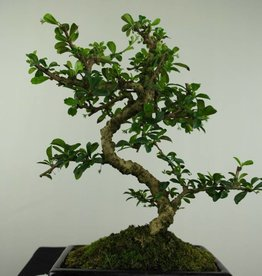 Bonsai Carmona macrophylla, no. 7239