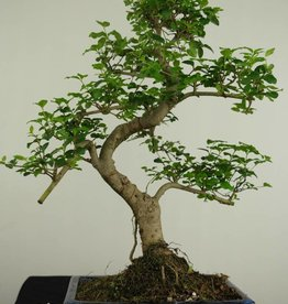 Bonsai Ligustrum nitida, no. 7248