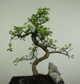 Bonsai Ulmus,Olmo chino, piedra, no. 7254
