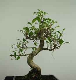 Bonsai Fig Tree, Ficus retusa, no. 7282