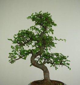 Bonsai Ulmus,Olmo chino, no. 7284