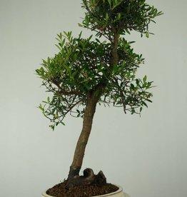 Bonsai Syzygium sp., no. 7295